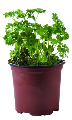 Potted Herbs Parsley Curly