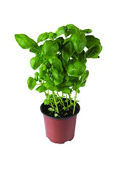 Potted Herbs Spicy Globe Basil