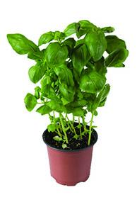 Potted Herbs Basil