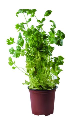 Potted Herbs Cilantro