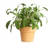 Potted Herbs Sage