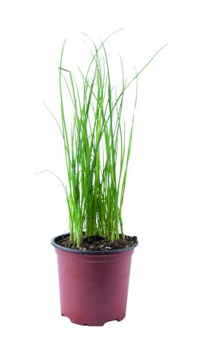 Potted Herbs Chives