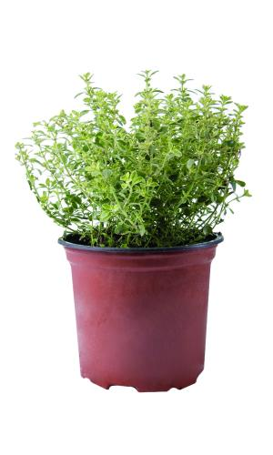 Potted Herbs Thyme