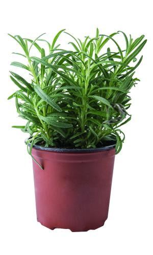Potted Herbs Rosemary
