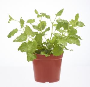 Potted Herbs Oregano